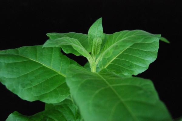 담배는 성장 속도가 빠르고 잎이 커서 백신이나 치료제로 쓸 성분을 얻기 쉽다. 고기성 중앙대 의대 교수팀은 담배나 배추를 이용해 대장암, 유방암 백신을 개발하고 있다. - 고기성 중앙대 의대 교수 제공